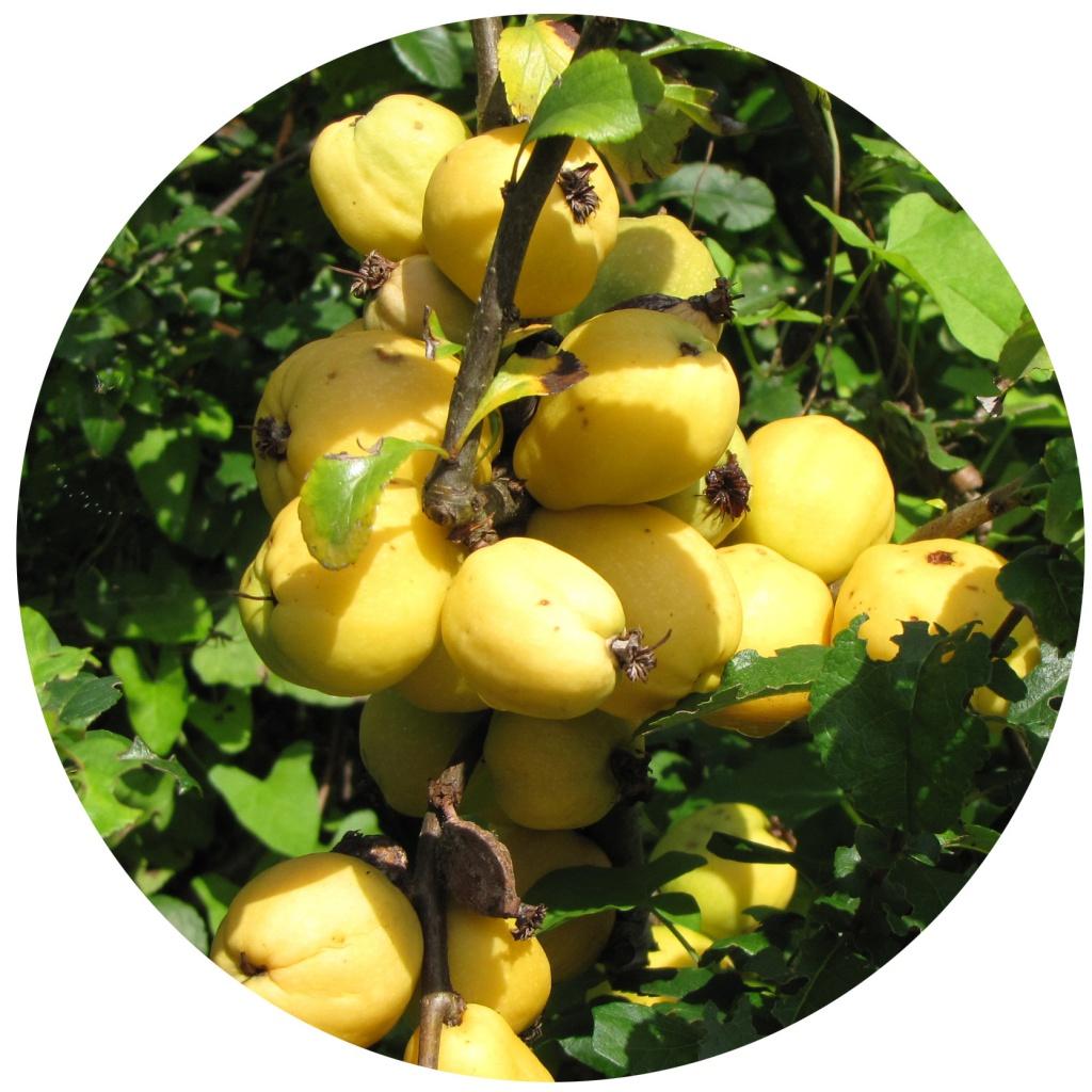 Nordische Zitrone Früchte