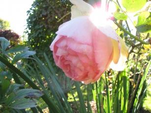 Rose im Paradiesgarten Maag