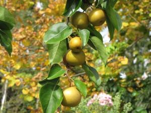 Nashi Birne aus dem Paradiesgarten Maag, besondere Pflanzen