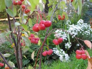 Zierapfel als Bestäuber im Paradiesgarten, Pflanzen