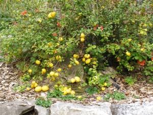Nordische Zitrone im Paradiesgarten