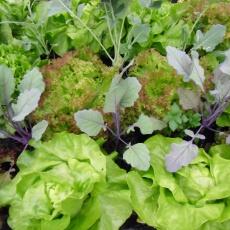Kohlrabi, Salat