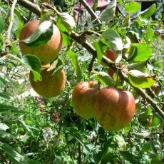 Apfelbäume die man nicht schneiden muss