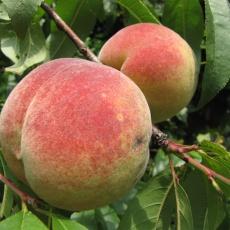 Pfirsiche, sogar im Allgäu
