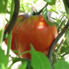 große Tomaten, Ochsenherz Tomate