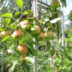 kleinbleibende Apfelbäume