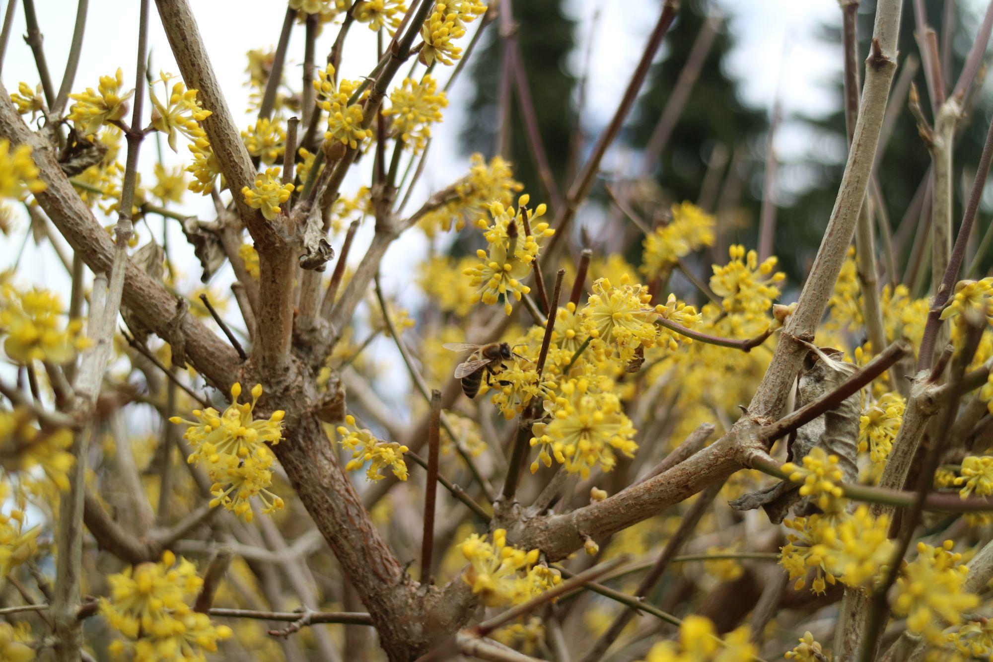 Kornellkirsche - Bienen Sträucher und Hecken
